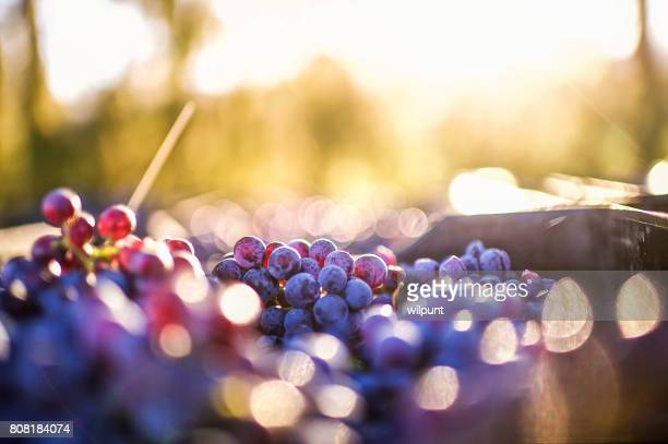 Grapes after being harvested