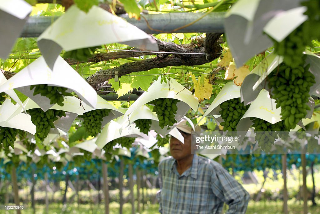 Grapes are protected by covering with heat shield caps on July 11, 2013 in Koshu, Yamanashi, Japan. Koshu city records over 39 degrees two days in a row.