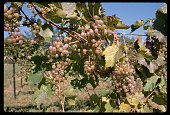 Grapes Await Harvest at New York Winery