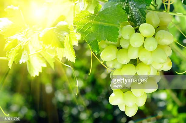 Grapes cluster on sunlight background