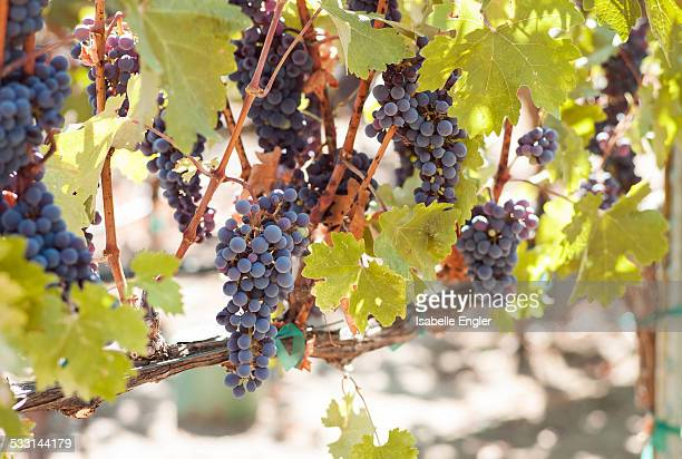 Grapes from Sonoma Vineyards