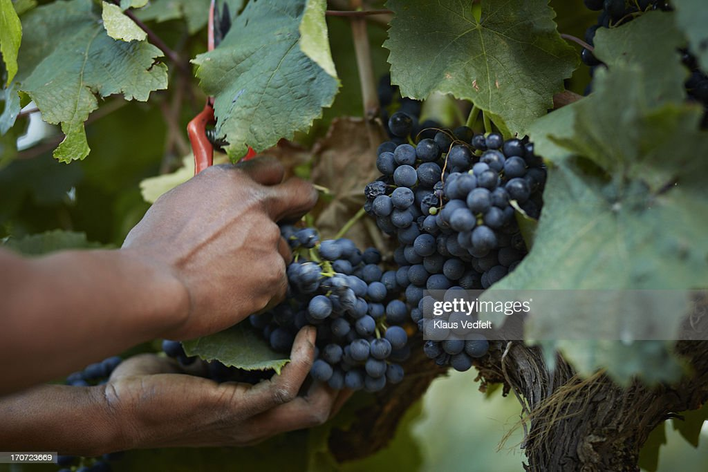 Grapes getting cut off vine : Stock Photo