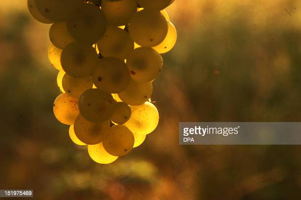 Grapes glow in the dawn on September 14 2012 in a vineyard near Essenheim western Germany Meteorologists forecast sunshine and temperatures around 20...