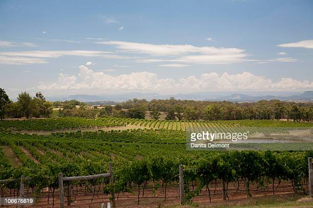 Grapes growing in vineyard, Hunter Valley, New South Wales, Australia