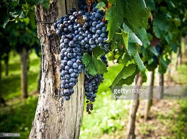 Grapes Growing in Wine Vineyard