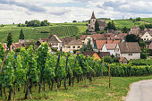 grapes grows in rows in the fields of Burgundy, winemaking business in France, fresh green background.Bergheim (Bas-Rhin, Alsace, France)