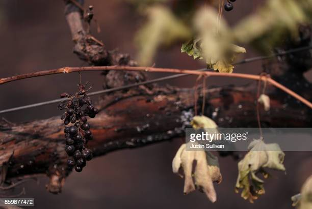 Grapes hang from a burned grave vine on October 10 2017 in Glen Ellen California Fifteen people have died in wildfires that have burned tens of...