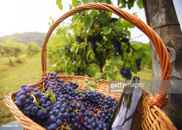 Grapes Harvesting and Picking Up in Italy