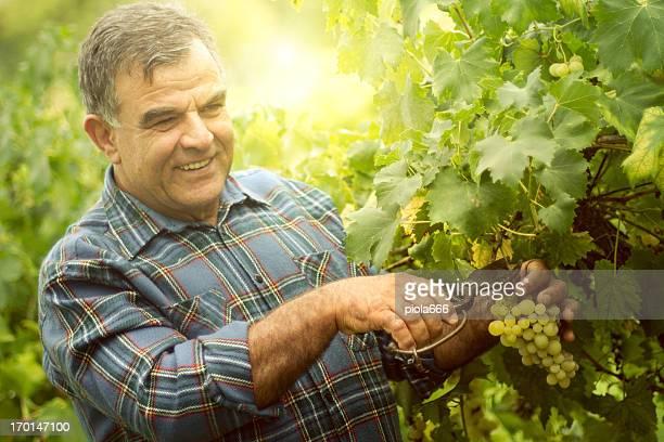 Trauben Ernten und heben