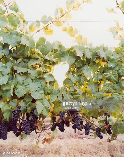 Grapes in Pinot Noir Vineyard