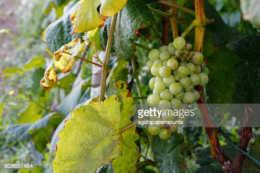 Grapes in the vineyard : Stock Photo