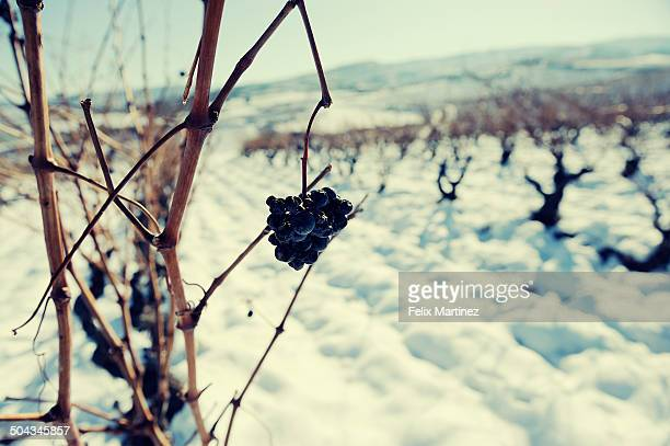 Grapes in winter