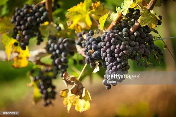 Uvas videira em um Estabelecimento Vinícola