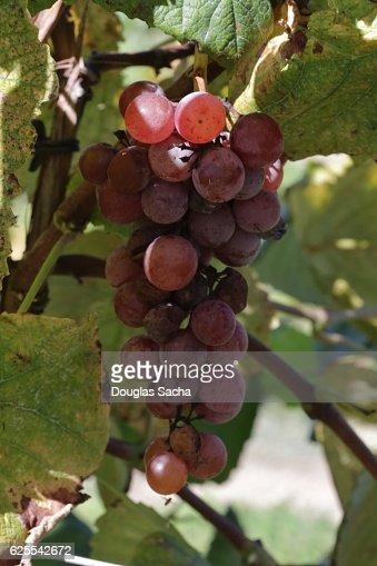 Grapes on the Vine (genus Vitis)