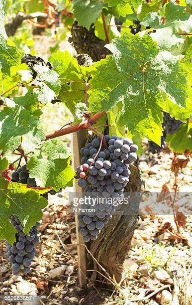 Grapes on Vine  in Bordeaux