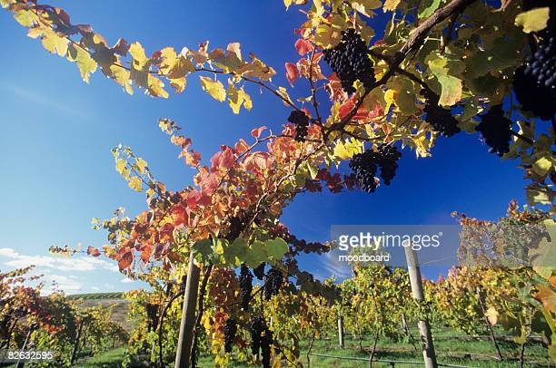 Grapes on vines in vineyard, Yarra Valley, Victoria, Australia