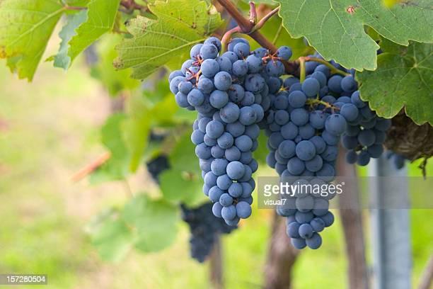 Uvas maturação vinhas