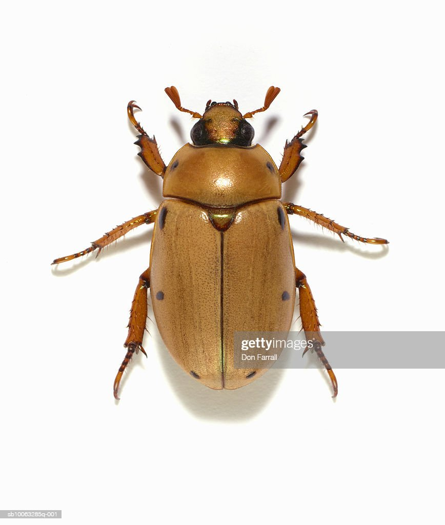 Grapevine beetle (Pelidnota punctata) on white background, overhead view
