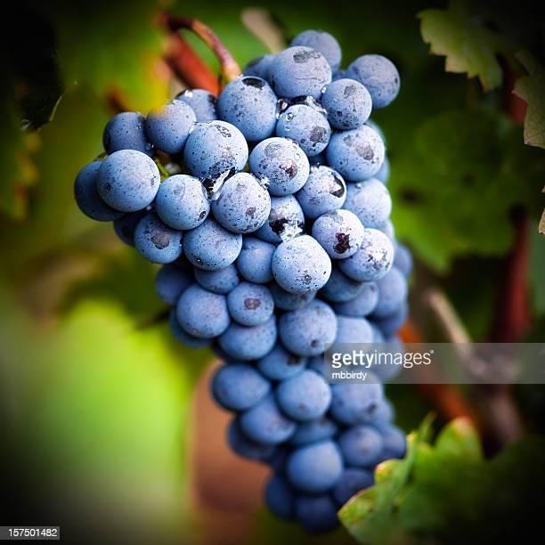 Grapevine no outono