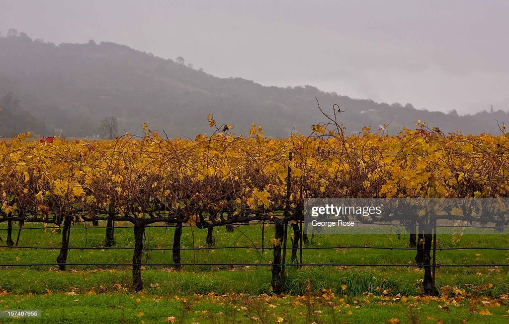 Grapevines manage to retain their colorful autumn leaves following a five-day storm December 2, 2012, in Healdsburg, California. More than a 18 inches of rain has fallen in California's Wine Country during the past five days. Forecasters are calling it 'The Pineapple Express,' or a 'river of moisture.'