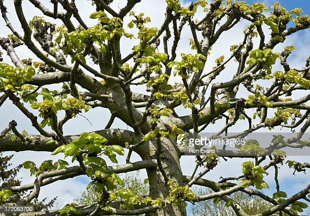 Graphic composition of Lime tree with new growth