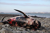 This is a disturbing photograph of a beached whale outside of Boston. But it is a reality that something ocassionally interferes with a whale's ability to navigate the waters and sometimes large numbe