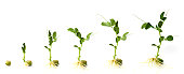 Graphic shows development of pea plant from when it sprouts