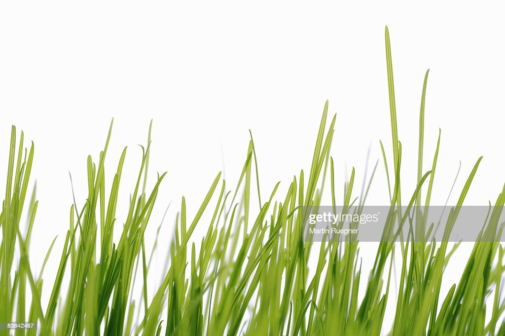 Grass against white background, close up. : Stock Photo