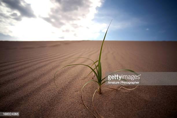 Grass at Tottori Dune