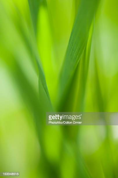 Grass, close-up