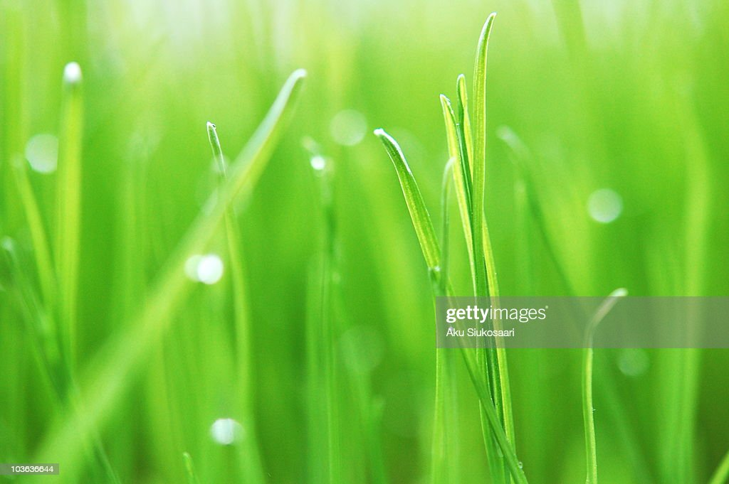Grass & Droplets : Stock Photo