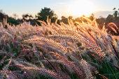 Grass flower at sunset.