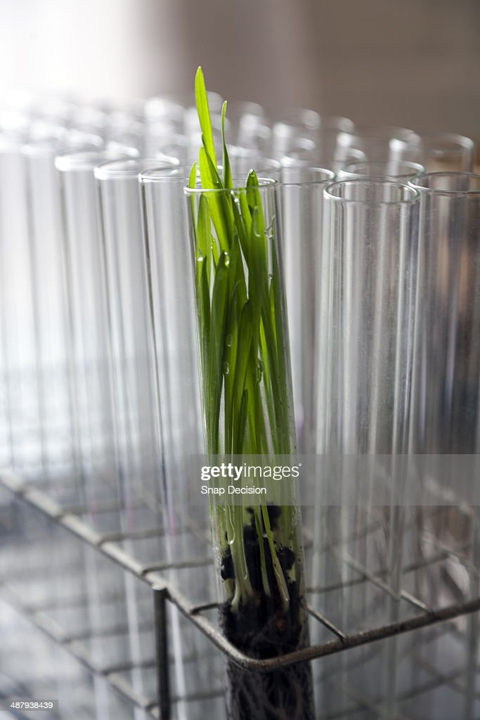 Grass growing in test tube