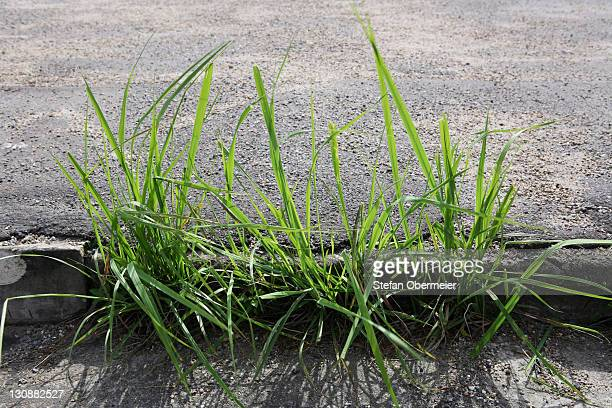 Grass growing out of tarred street