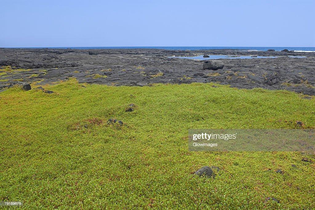 Grass in a field, Puuhonua O Honaunau National Historical Park, Kona Coast, Big Island, Hawaii Islands, USA : Stock Photo
