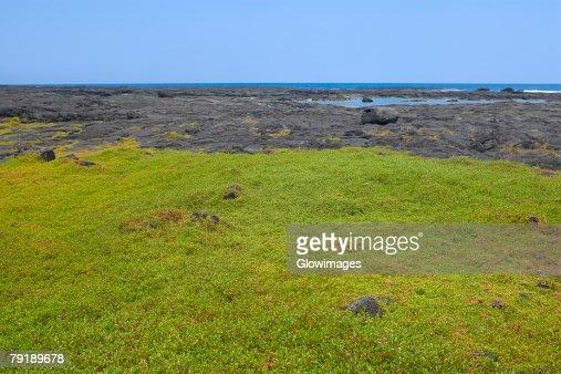 Grass in a field, Puuhonua O Honaunau National Historical Park, Kona Coast, Big Island, Hawaii Islands, USA : Foto de stock