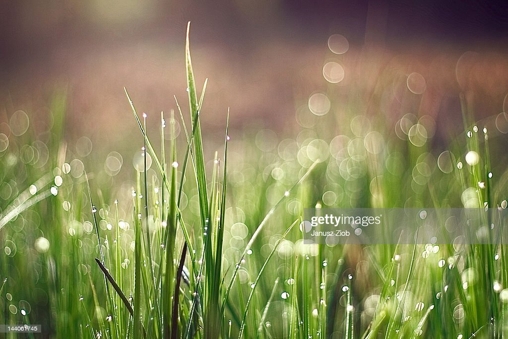 Grass in morning dew