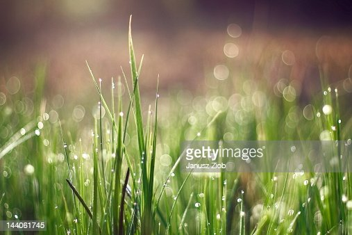 Grass in morning dew