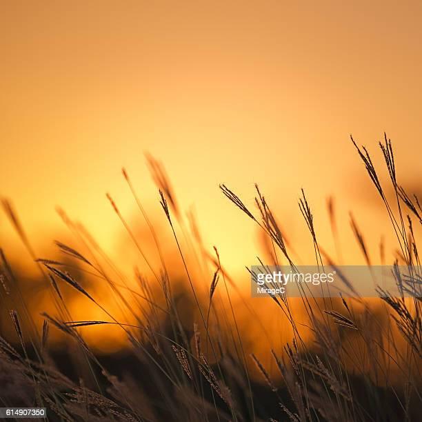 Grass in Orange Sunset Glow