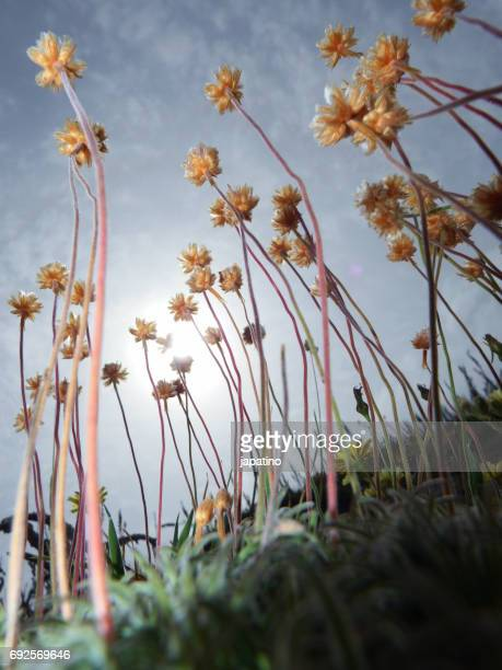 Grass of love.( Armeria pubigera)Herbs and wild plants on the coasts of Galicia