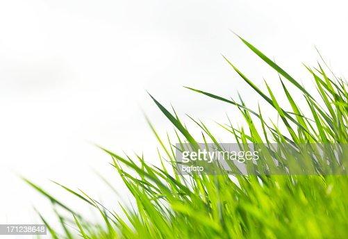 Grass on White XXXL