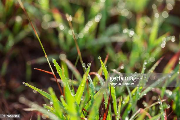 Grass plant with dew in morning