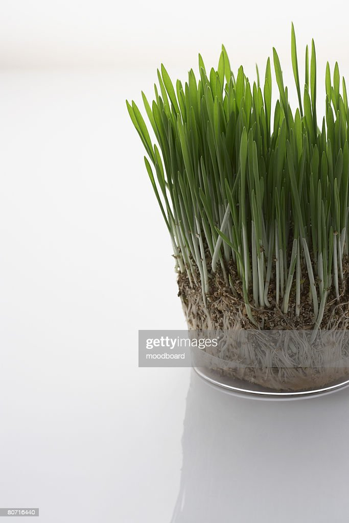 Grass seedlings : Stock Photo