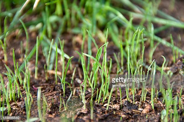 Grass Seedlings Sprouting from Ground