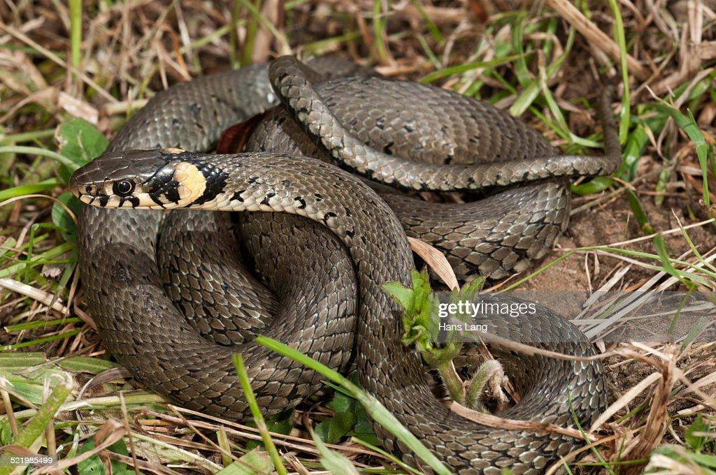 Grass Snake -Natrix natrix-, Baden-Wurttemberg, Germany