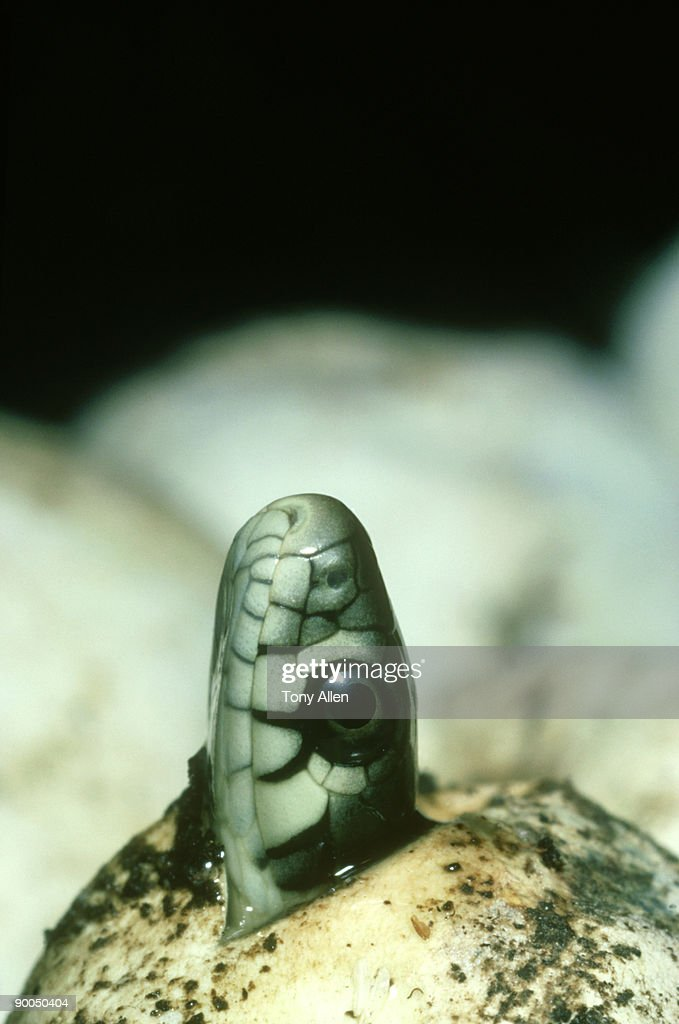 grass snake, natrix natrix  natrix, hatching in compost heap,  southern england