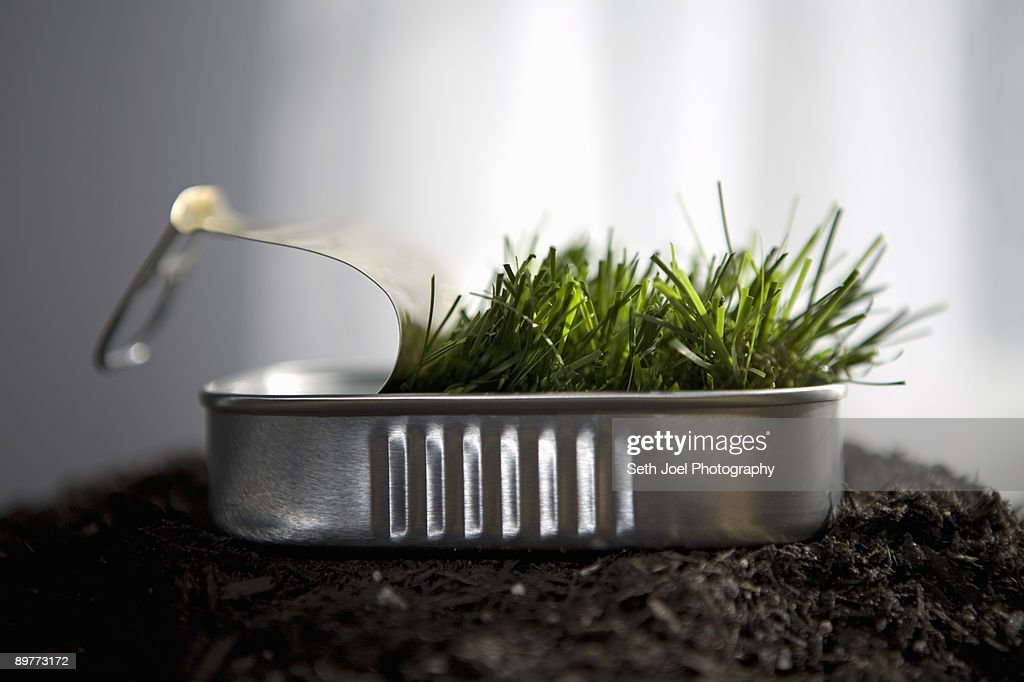 Grass sprouting in sardine can : Stock Photo
