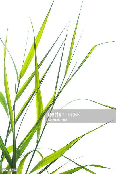 Grass stems
