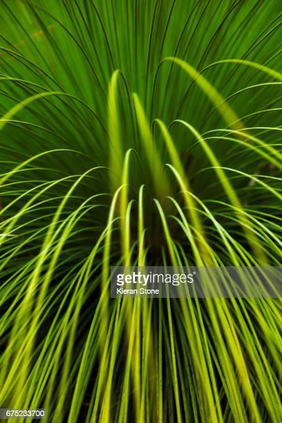 Grass tree close up