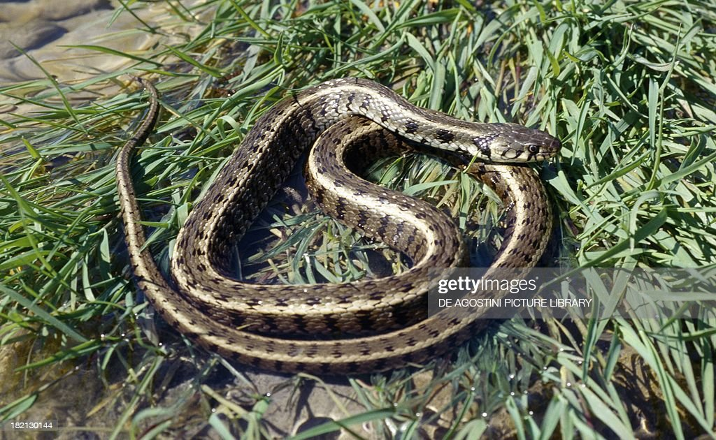 Grass water or ringed snake Colubrids